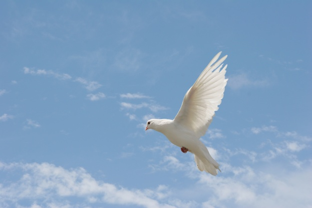 white dove in flight.jpg
